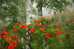 6月 立原(たてはら)高原のレンゲツツジの写真素材 [FYI04893530]