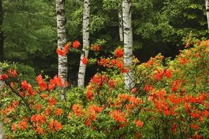 6月 立原(たてはら)高原のレンゲツツジの写真素材 [FYI04893533]
