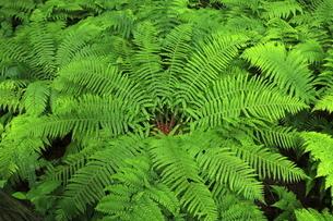 6月 鳥海山ふもとの杉林に見られる羊歯の写真素材 [FYI04893622]
