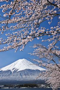 満開の桜と富士山 山梨県の写真素材 [FYI04893743]
