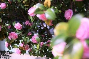 咲き誇る乙女椿の写真素材 [FYI04893754]