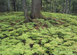 林床に広がる新緑のシダ(北海道・鹿追町)の写真素材 [FYI04894030]