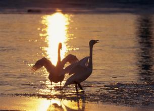 夕陽とオオハクチョウの鳴き合い(北海道・標茶町)の写真素材 [FYI04894051]
