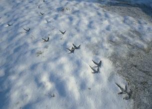 雪上に残るタンチョウの足跡(北海道・鶴居村)の写真素材 [FYI04894054]