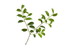 白背景の榊の葉と枝の写真素材 [FYI04894133]