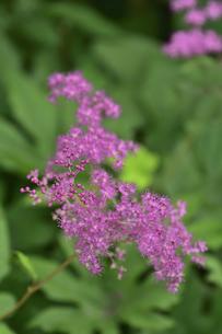 アカバナシモツケソウ(バラ科シモツケソウ属の多年草)のピンク色の花と葉の写真素材 [FYI04894223]