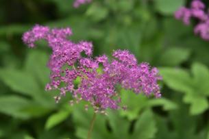 アカバナシモツケソウ(バラ科シモツケソウ属の多年草)のピンク色の花と葉の写真素材 [FYI04894224]