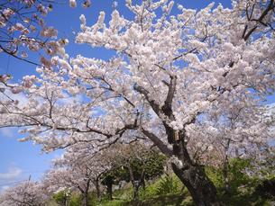 松前城の桜の写真素材 [FYI04894486]