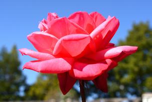 荒牧バラ公園/秋/バラの花フレンドシップの写真素材 [FYI04895053]