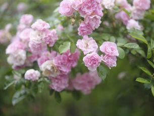 ピンクのバラの写真素材 [FYI04895529]