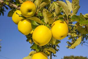 リンゴ シナノゴールドの写真素材 [FYI04895650]