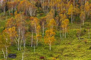 志賀高原 平床のシラカバ黄葉の写真素材 [FYI04895657]