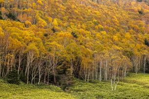 志賀高原 平床のシラカバ黄葉の写真素材 [FYI04895659]