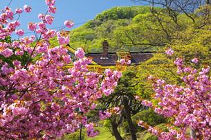 元町公園の桜と旧函館区公会堂と函館山の写真素材 [FYI04896026]