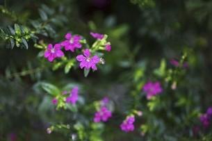 メキシコハナヤナギの花の写真素材 [FYI04896033]