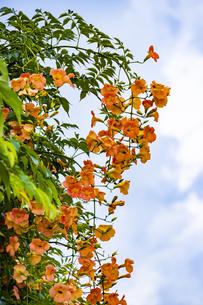 ノウゼンカズラの花の写真素材 [FYI04896069]