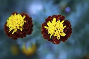 マリーゴールド・ホットパックスプレーの花の写真素材 [FYI04896074]