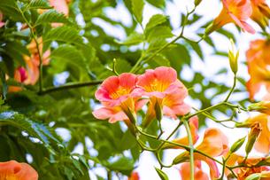 ノウゼンカズラの花の写真素材 [FYI04896075]