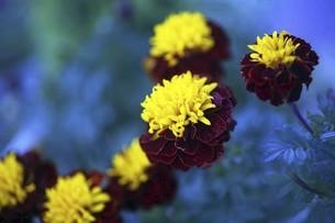 マリーゴールド・ホットパックスプレーの花の写真素材 [FYI04896076]