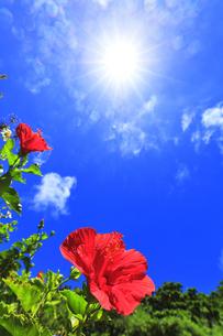 小笠原諸島 母島に咲くハイビスカスと夏の空の写真素材 [FYI04896203]