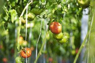 ビニールハウス栽培のプチトマトの写真素材 [FYI04896846]
