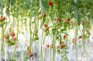 ビニールハウス栽培のプチトマトの写真素材 [FYI04896849]