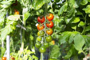 ビニールハウス栽培のプチトマトの写真素材 [FYI04896855]