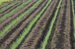 畑に植えられた沢山のネギの苗が並ぶ光景の写真素材 [FYI04897090]