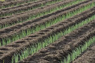 畑に植えられた沢山のネギの苗が並ぶ光景の写真素材 [FYI04897091]