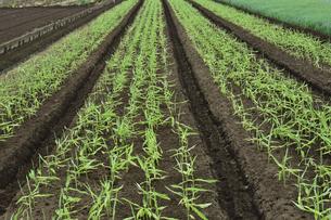 畑に植えられた沢山のショウガの写真素材 [FYI04897103]