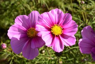 近江八幡コスモスの花の写真素材 [FYI04897141]