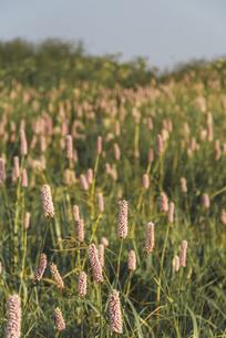 咲き乱れるイブキトラノオの花の写真素材 [FYI04897198]