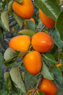 甲州百目柿の写真素材 [FYI04897350]