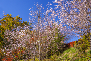 城峯公園の冬桜の写真素材 [FYI04897509]