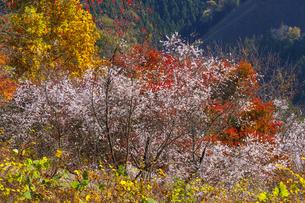 城峯公園の冬桜の写真素材 [FYI04897514]