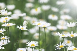 フランス菊の蜜を吸うモンシロチョウの写真素材 [FYI04897619]