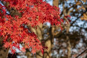紅葉の赤色の写真素材 [FYI04898084]
