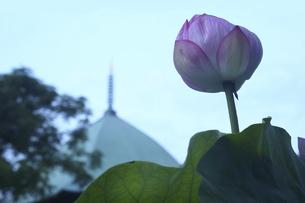 鎌倉本覚寺のハスの写真素材 [FYI04898131]
