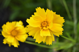 オオキンケイギク(キク科・特定外来生物に指定され栽培が禁止されている)の黄色い花の写真素材 [FYI04898477]