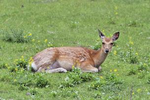 初夏の草原で休むエゾシカの雌(北海道・知床)の写真素材 [FYI04898740]