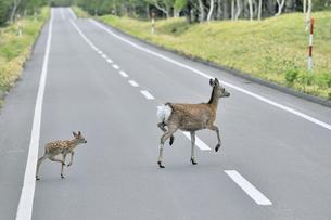 道路を横断するエゾシカの親子(北海道・知床)の写真素材 [FYI04898760]