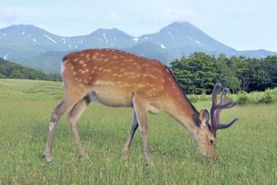 知床連山とエゾシカの雄(北海道・知床)の写真素材 [FYI04898769]