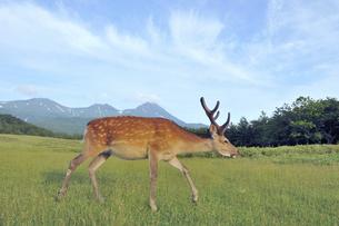 知床連山とエゾシカの雄(北海道・知床)の写真素材 [FYI04898770]