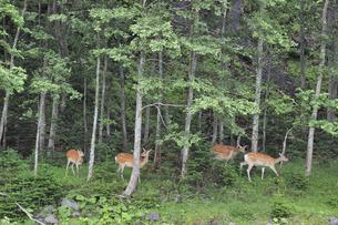 森の中を歩くエゾシカの群(北海道・知床)の写真素材 [FYI04898788]