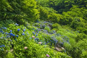 紫陽花咲く東雲の里の写真素材 [FYI04898923]