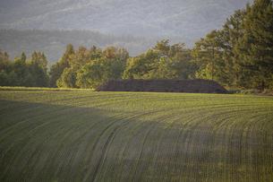 夕日に光る緑色のムギの苗の写真素材 [FYI04899340]
