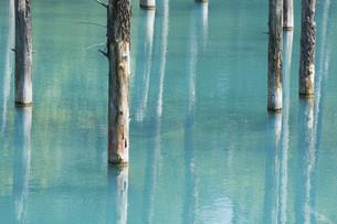 夏の青い池 美瑛町の写真素材 [FYI04899347]
