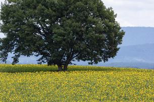大きな木の根元に広がる秋のヒマワリ畑の写真素材 [FYI04899362]
