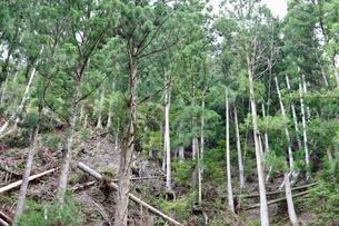 杉檜の伐採の写真素材 [FYI04899556]
