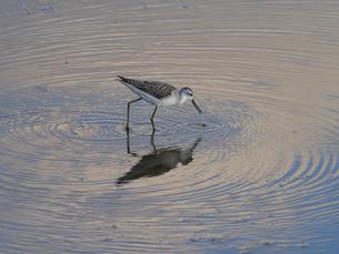 アオアシシギと暮色の池の写真素材 [FYI04899778]